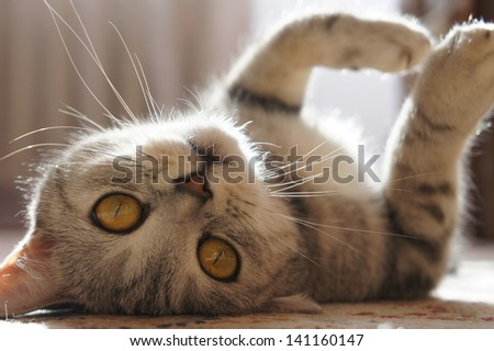 British kitten - stock photo