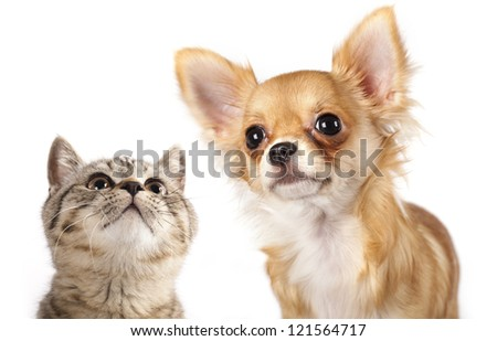 British kitten and dog Chihuahua - stock photo