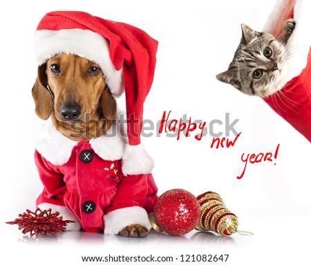 British kitten and dog dachshund - stock photo