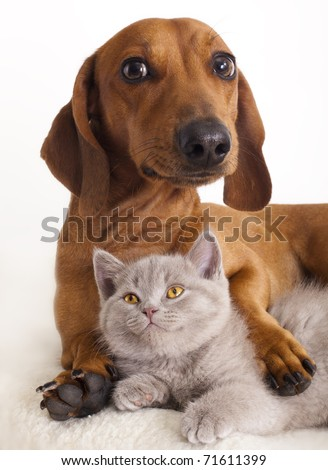 British kitten  and dog dachshund - stock photo