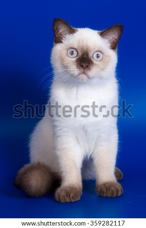 British kitten Color Point on a blue background - stock photo