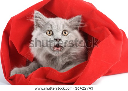 british kitten in red bag isolated - stock photo