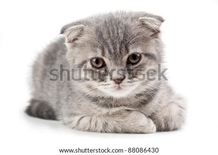 British kitten isolated on white background - stock photo