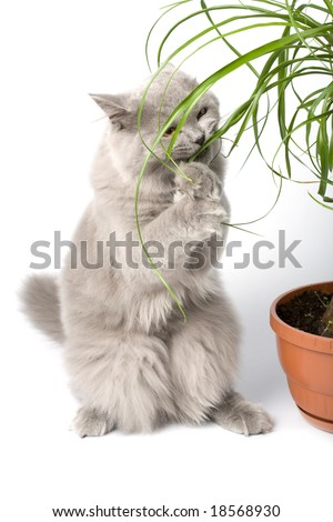 british kitten standing on it's paws eating green plant isolated - stock photo