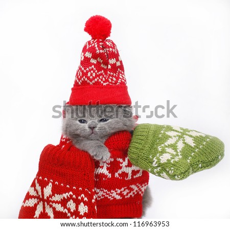 British kitten with mittens on a white background.