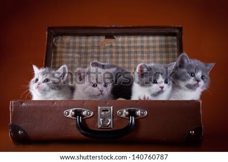 British kittens - stock photo