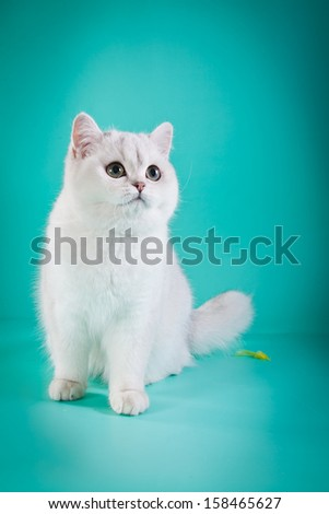 British kittens, cute, cat, white on a colored background - stock photo