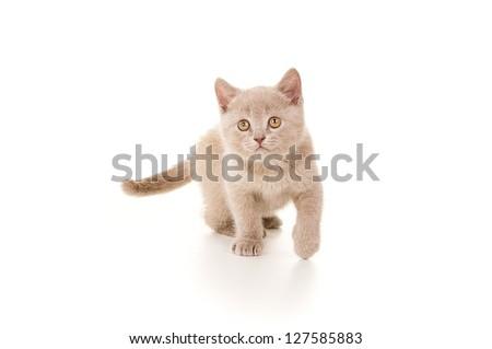 British little beautiful smoke gray kitten plays - stock photo