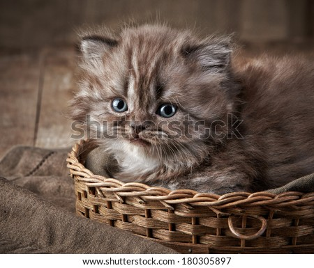 British long hair kitten in a basket - stock photo