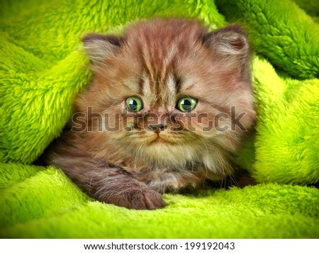 british long hair kitten on a green background - stock photo