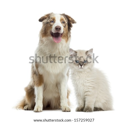 British Longhair kitten and Australian Shepherd sitting next to each other, isolated on white - stock photo