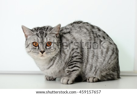 British Scottish straight cat  - stock photo