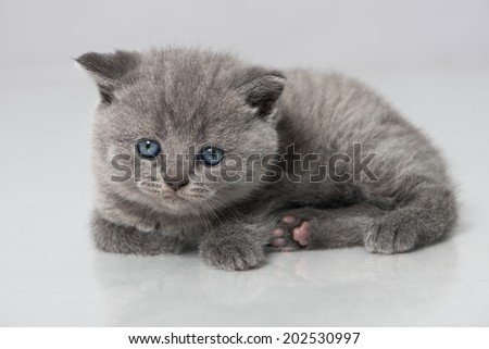 British short hair kitten isolated on white - stock photo