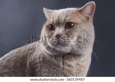 British Short Hair Purebred Cat - stock photo