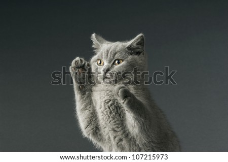 British short haired grey cat isolated on a grey background - stock photo