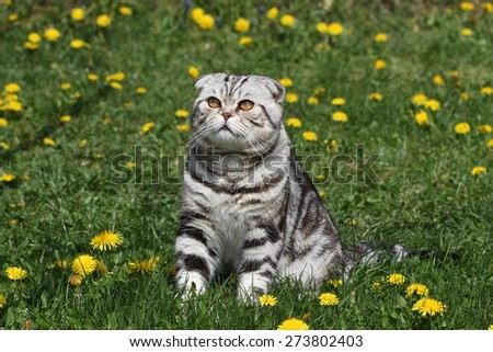 British Shorthair Cat / Cat sits on a green lawn. - stock photo
