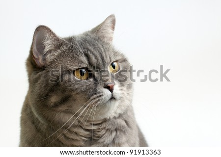 British Shorthair Cat Close-up - stock photo