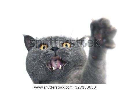 British shorthair cat crazy expression. Also known as British Blue cat - domesticated cat whose features make it a popular breed in cat shows. - stock photo