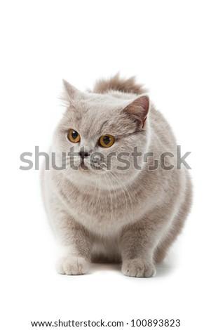 British shorthair cat on a white background. british cat isolated - stock photo