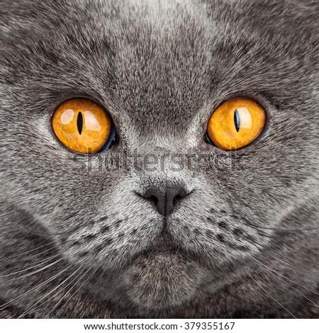 British Shorthair Cat Portrait. Beautiful kitty - stock photo