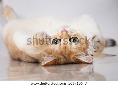 British shorthair cat portrait. isolated on white - stock photo