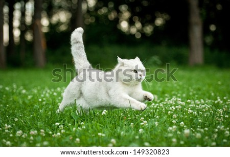 British shorthair cat running in summer - stock photo