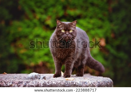 british shorthair cat standing on a stone outdoors - stock photo