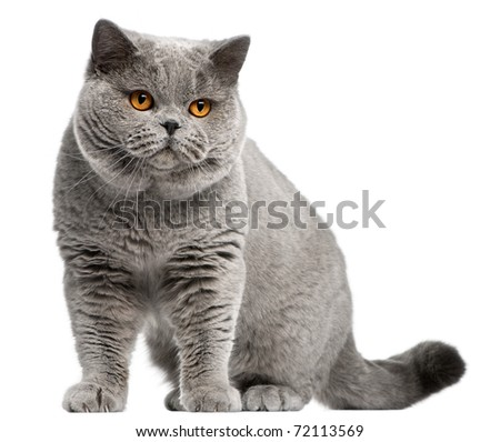 British Shorthair cat, 2 years old, in front of white background - stock photo