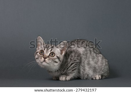 British Shorthair kitten on a gray background . - stock photo