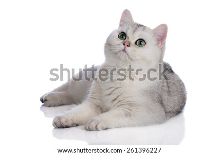 british shorthair kitten on white - stock photo