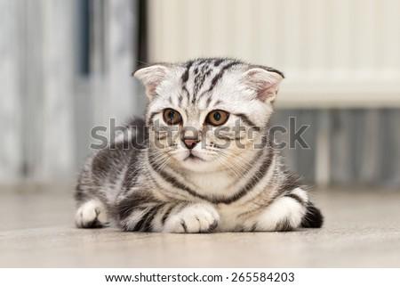 British Shorthair kitten / Sitting little kitten - stock photo