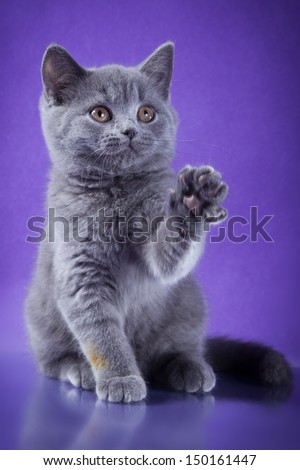 British shorthair kittens - stock photo
