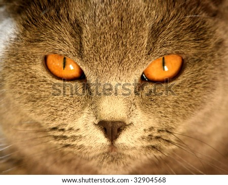 British shorthair's cat close-up portrait - stock photo