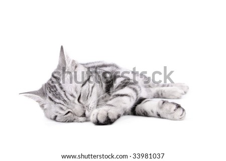 British Shorthar kitten on white background - stock photo