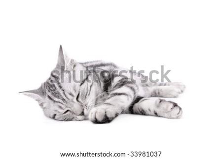 British Shorthar kitten on white background - stock photo