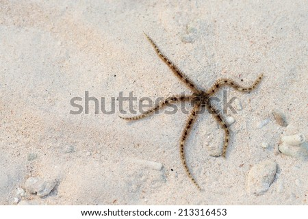Brittle star or ophiuroids brown thin starfish on sand background - stock photo