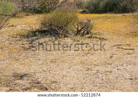 Brittlebush - Encilia farinosa in the Anza Borrego Desert - stock photo