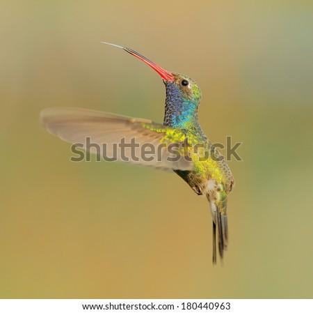 Broad Billed Hummingbird - stock photo