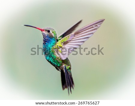 Broad Billed Hummingbird. Using different backgrounds the bird becomes more interesting and blends with the colors. These birds are native to Mexico and brighten up most gardens where flowers bloom. - stock photo