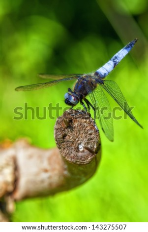Broad-bodied Chaser - macro shot - stock photo