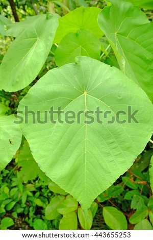 Broad leaf tropical plant sprouting from a forest floor.  - stock photo