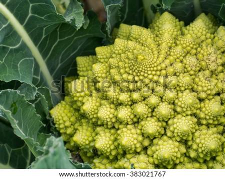 Broccoflower - Romanesco green cauliflower. Home grown, in my garden. - stock photo