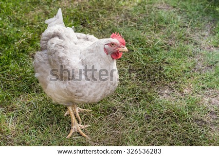 Broiler hen looking into the camera. Authentic farm series. - stock photo