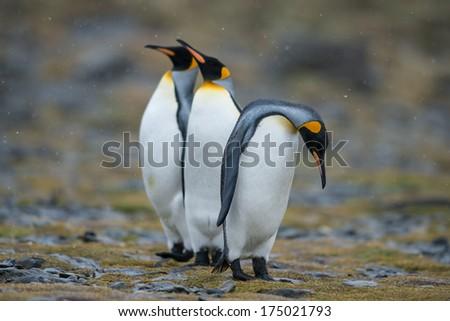 Broken-hearted King penguin, South Georgia, Antarctica - stock photo