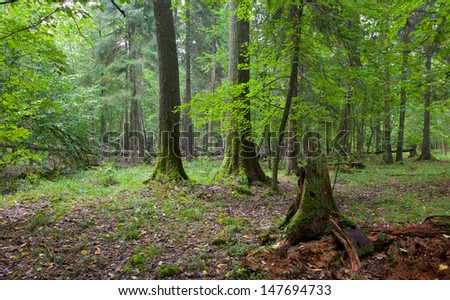 Broken spruce stump partly declined against old natural mixed stand of Bialowieza Forest - stock photo