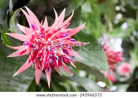 Bromeliad flowers in the house happily. The cold makes them look fresh.Looks like a pineapple, but eat not only decorate the garden. - stock photo