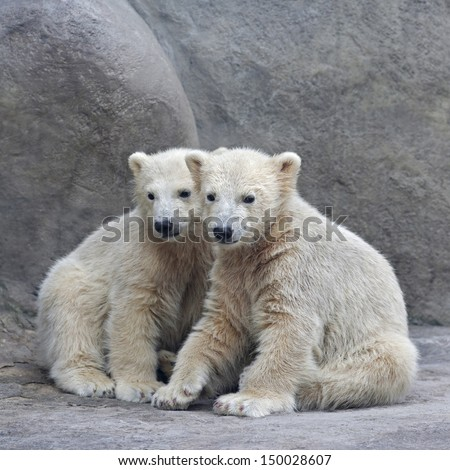 Brotherhood of polar bear cubs. Attentive look of the young animals. Cute babies, which are going to be the most dangerous beast of the world. - stock photo
