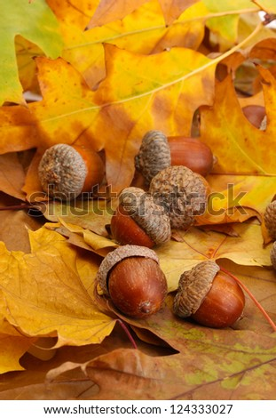 brown acorns on autumn leaves, close up - stock photo