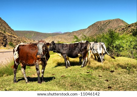 Brown African cow in herd in mountains. Shot in the Langeberge highlands near Grootrivier river, Garden Route, Western Cape, South Africa. - stock photo