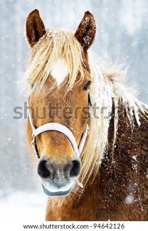 Brown and beautiful horse in snow - stock photo